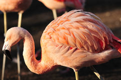 De visserij van de flamingo Stock Foto's