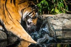 De Visserij van de tijger Royalty-vrije Stock Foto