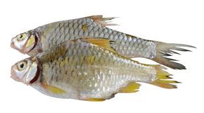 De vista completa de peixes crus no fundo branco Imagem de Stock Royalty Free