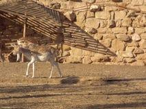 De vit tailed hjortarna Arkivbilder