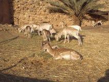 De vit tailed hjortarna Fotografering för Bildbyråer
