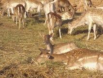 De vit tailed hjortarna Arkivfoto