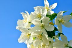 De vita blommorna av äppleträd på bakgrund av blå himmel Arkivfoto