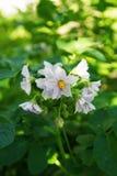 De vita blommorna av potatisen på en grön bakgrund i en solig dag Royaltyfri Bild