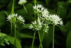 De vita blommorna av Ramsons eller lös vitlök, Alliumursinum Royaltyfria Bilder