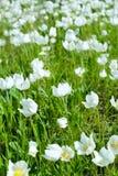 De vita blommorna för första vår Arkivbilder