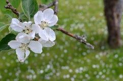 De vita blommorna från ett äppleträd Royaltyfria Foton