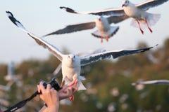 De vita fiskmåsarna svävar På händerna av turister Royaltyfri Bild