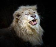 De vita lejonen är rytande royaltyfria bilder