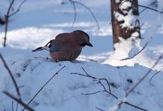 De Vlaamse gaai zit bij de sneeuw Royalty-vrije Stock Fotografie