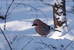 De Vlaamse gaai zit bij sneeuw Stock Foto's