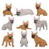 De vlakke vectorreeks grijze en bruine Franse buldogpuppy in verschillend stelt Klein ras van binnenlandse hond Huishuisdier vector illustratie