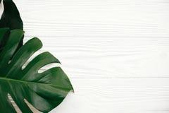 De vlakte van Monsterabladeren lag Modieuze groene monsterabladeren op wit stock foto