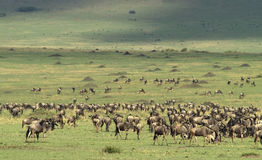 De vlaktes masai-Mara Stock Fotografie