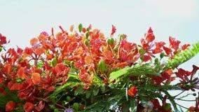 De vlamboom of de Koninklijke poincianaboom bloeien stock footage
