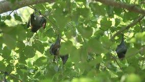 De vleerhond hangt op een boomtak stock footage