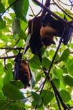 De vleerhond van Lyle, Pteropus-vampyrus, Pteropus-lylei of Khangka Stock Fotografie