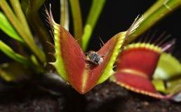 De vleesetende installatie van Dionaea stock afbeeldingen