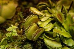 De vleesetende Venus Fly Traps Dionaea-muscipula en van Zonnedauwendrosera capensis Installaties scheiden spijsverteringsenzymen  royalty-vrije stock fotografie
