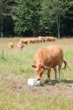 De vleeskoe die van Limousin zout lik mineraal supplement eten stock afbeeldingen