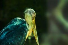 De vlek factureerde pelucan of grijze pelucan stock afbeeldingen