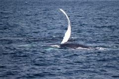 De vleugel van de gebocheldewalvis in Atlantische Oceaan dichtbij Boston Stock Afbeeldingen
