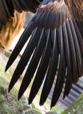 De vleugel van de gier Stock Afbeelding