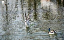 De vleugels openen en het schreeuwen de watervogel op de waterspiegel stock foto's