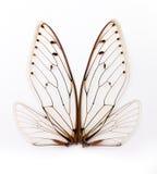De vleugels van de cicade. Stock Afbeeldingen