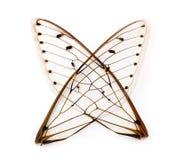De vleugels van de cicade. Stock Foto