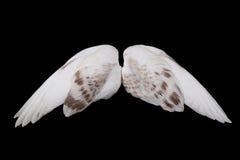 De vleugels van de duif Stock Foto's