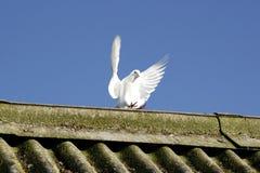De vleugels van de duif stock foto