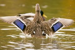De vleugels van de eend Stock Fotografie