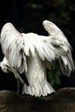 De vleugels van de pelikaan Royalty-vrije Stock Foto's