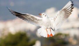 De vleugels van de zeemeeuw stock fotografie