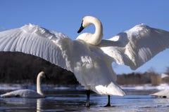 De Vleugels van de zwaan Stock Afbeeldingen