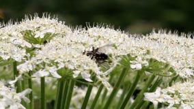 De vlieg en de wesp op Reus hogweed, Holland stock videobeelden