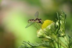 De vlieg geniet van nectar Royalty-vrije Stock Foto's