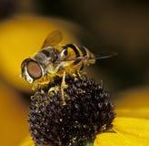 De vlieg van de bloem Royalty-vrije Stock Afbeeldingen