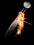 De vlieg van de cicade aan maan Stock Foto