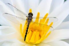 De vlieg van de draak op bloem Stock Foto
