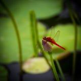 De vlieg van de draak op lotusbloem Stock Fotografie