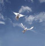 De vlieg van de duif Royalty-vrije Stock Afbeeldingen