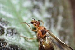 De Vlieg van de mier Stock Foto's