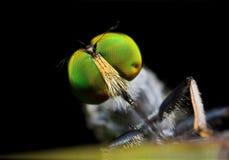 De vlieg van de rover met groene ogen Royalty-vrije Stock Afbeelding