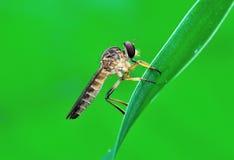 De vlieg van de rover op het blad Stock Foto's