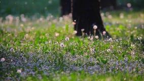 De vlieg van het de lentestuifmeel over het gras stock videobeelden