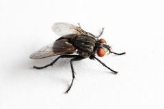 De vlieg van het huis (Muscidae Domestica) Royalty-vrije Stock Foto's