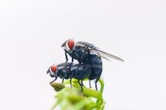 De vliegen kweken Royalty-vrije Stock Afbeelding