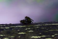 De vliegen maken liefde op een boomtak De insecten reproduceren stock afbeeldingen
